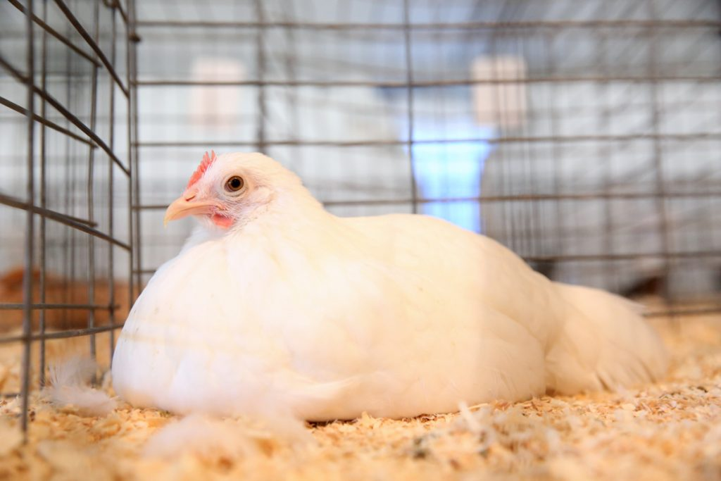 2017 Old Home Week Poultry Show