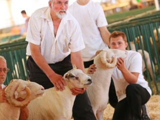 2017 Old Home Week Sheep Show