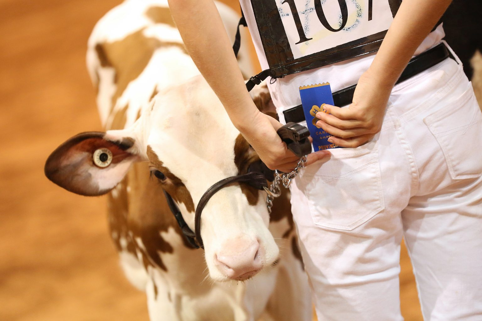 Old Home Week Dairy Cattle winning ribbon