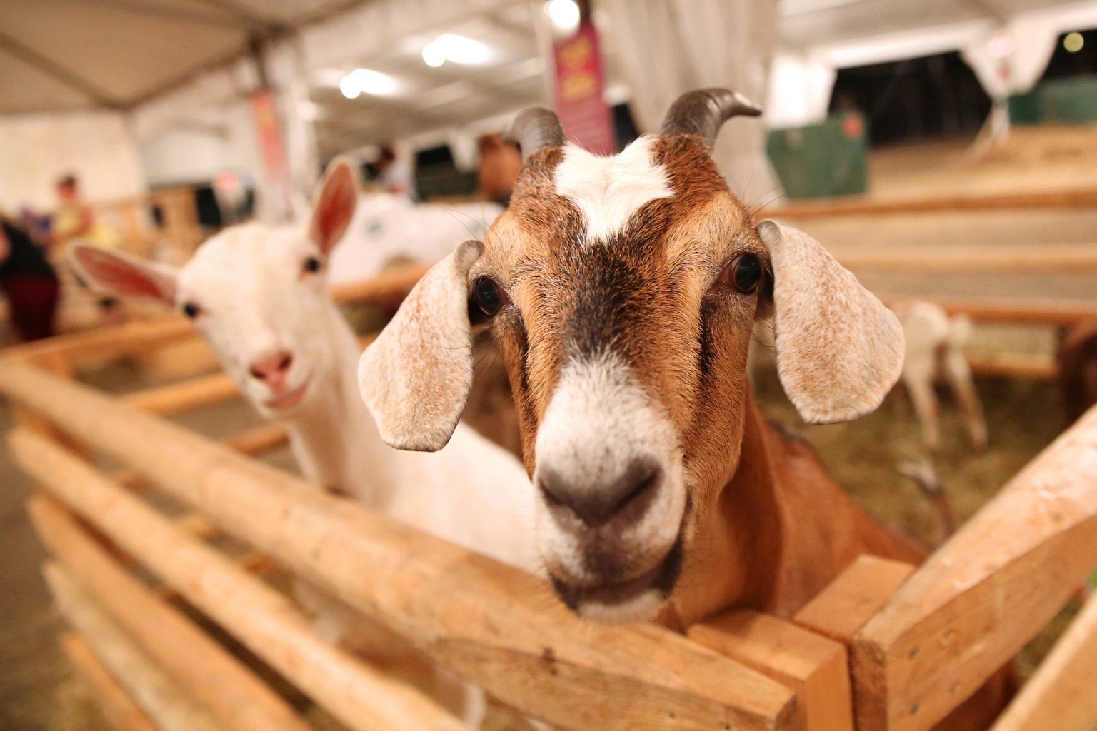 Old Home Week Small Animal Goat Competition