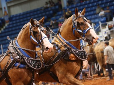 Old Home Week Draft Horse Competition